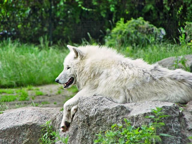 White arctic wolf