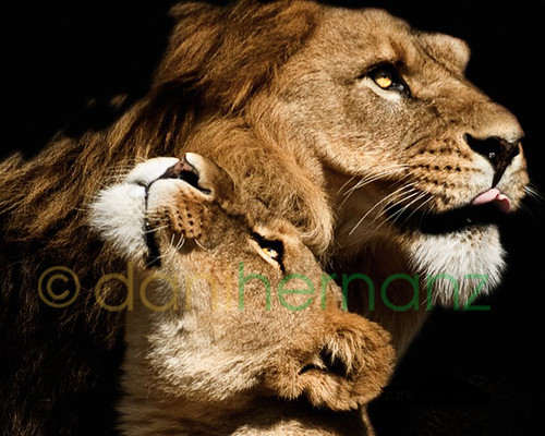 MR. LION & MISS LIONESS