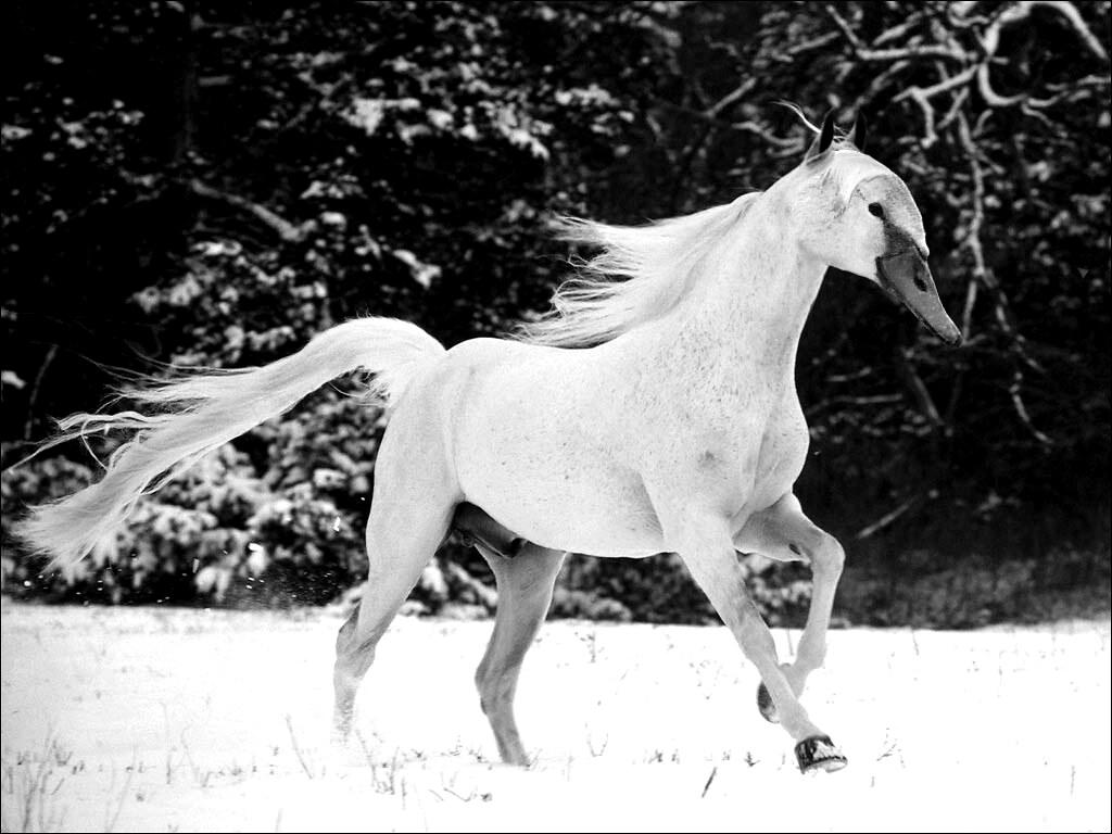 swanhorse