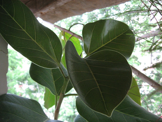 banyan tree leaf - photo #8