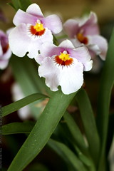 kitchen orchids    MG 1791
