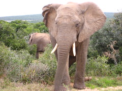 animal, indian elephant, elephant, elephants and mammoths, african elephant, fauna, savanna, safari, wildlife,