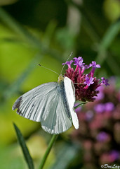 nectar(0.0), colias(0.0), arthropod(1.0), pollinator(1.0), animal(1.0), moths and butterflies(1.0), butterfly(1.0), flower(1.0), wing(1.0), nature(1.0), invertebrate(1.0), macro photography(1.0), flora(1.0), green(1.0), fauna(1.0), cabbage butterfly(1.0), close-up(1.0), petal(1.0),