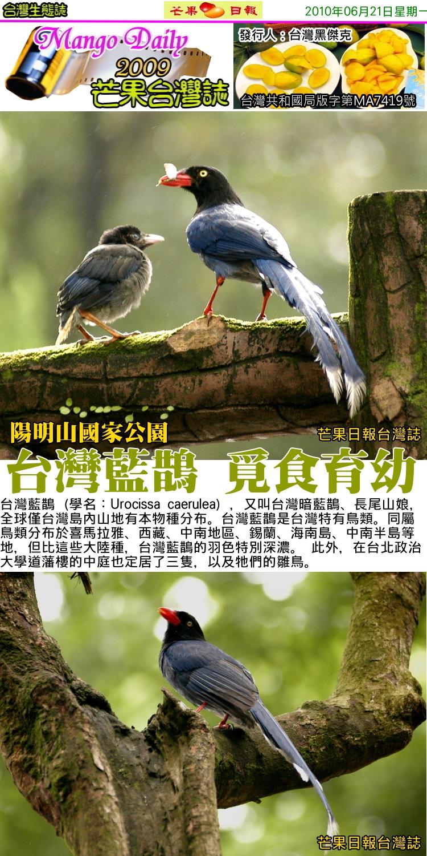 100621芒果台灣誌--台灣生物誌--陽明山國家公園的藍鵲01