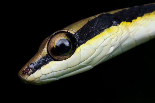 MPE65 snake shot!!! <br><i>Dendrelaphis striatus</i>, Cohn's bronze back snake. IMG_4467 copy