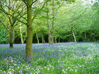 Bluebell woods in Canterbury