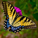 Swallowtail and Birdwing Butterflies - Photo (c) Orbital Joe, some rights reserved (CC BY-NC-ND)