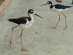 animal, fauna, ciconiiformes, stilt, shorebird, beak, bird,