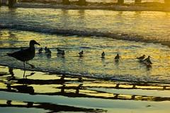 baby gulls