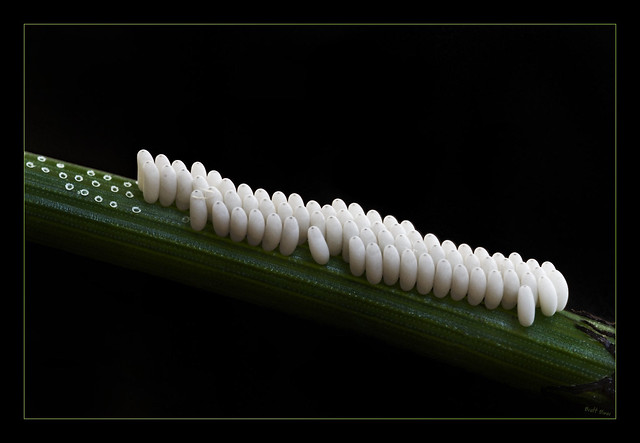 White_Insect_Eggs http://www.flickr.com/photos/brettoliver/1428660443/