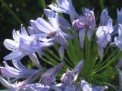 flower, plant, india hyacinth, herb, wildflower, flora,