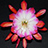 the Flickr's Epiphyllum bloom group group icon