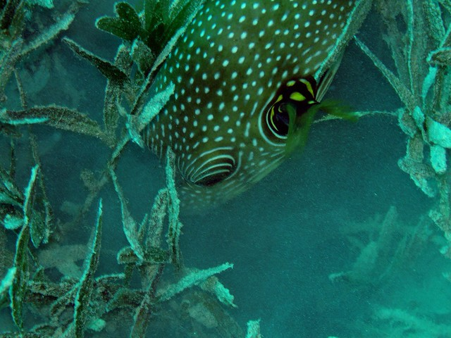 Giant puffer fish eating sea grass flickr photo sharing for Giant puffer fish