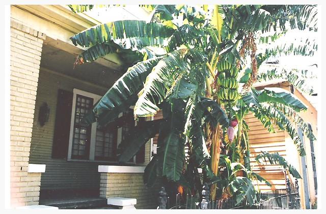 banaanipuu, New Orleans