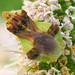 Jagged Ambush Bugs - Photo (c) Dann Thombs, some rights reserved (CC BY-NC-ND)