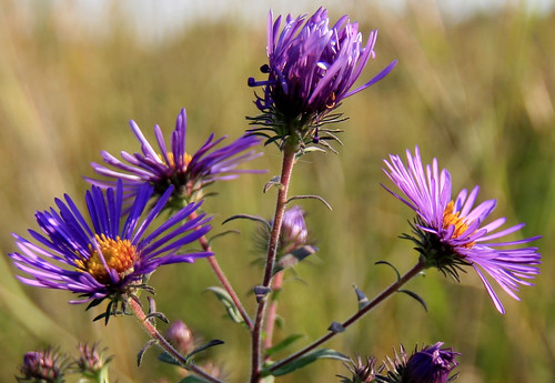 ? Probably Late Purple Aster, Aster patens