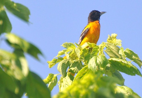 My First Oriole