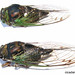 Swamp Cicada - Photo (c) Dan Century, some rights reserved (CC BY-SA)