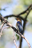 Blue-and-White Flycatcher by aquaticax7
