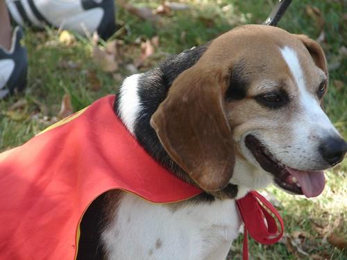 stanley the super beagle