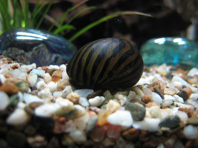Snail in my fish tank flickr photo sharing for Snails in fish tank