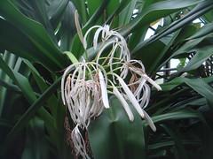 arecales(0.0), grass(0.0), plant(0.0), plant stem(0.0), hymenocallis(1.0), flower(1.0), leaf(1.0), tree(1.0), hymenocallis littoralis(1.0), flora(1.0), green(1.0),