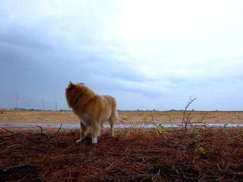coyote blue sky dog brown oklahoma field clouds rural puddle countryside wolf view flat cloudy earth empty horizon country overcast canine pineneedles rainy murphy wistful frederick expanse coydog tillmancounty