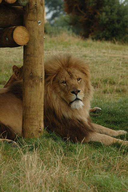 African Lion Safari Stripper