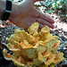 Laetiporus - Photo (c) Matt Reinbold, some rights reserved (CC BY-SA)