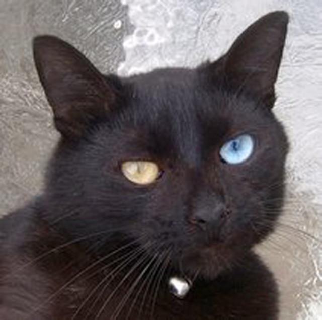 rare oddeyed black cat flickr photo sharing