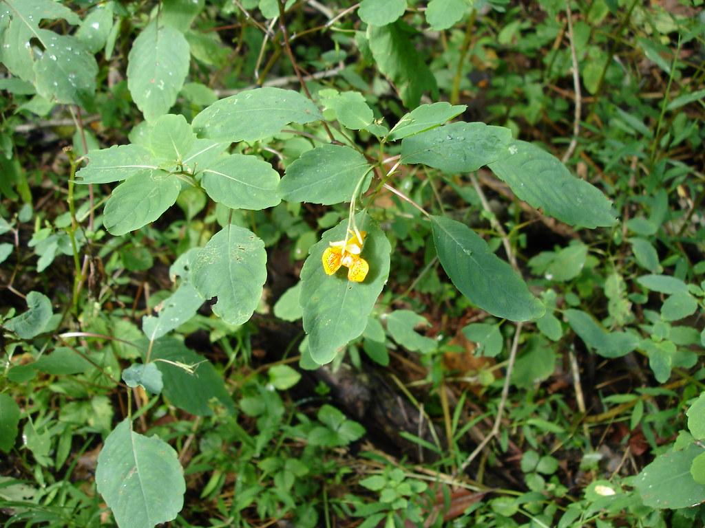 Jewel Weed Impatiens capensis