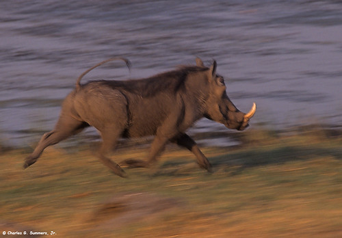 Warthog running at top speed