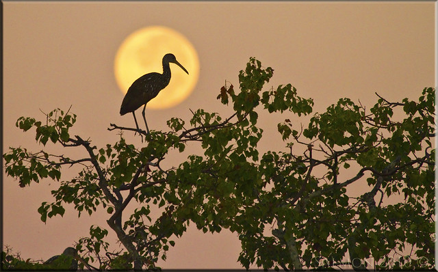 Setting Moon, Rising Sun, and a Limpkin in the Right Tree