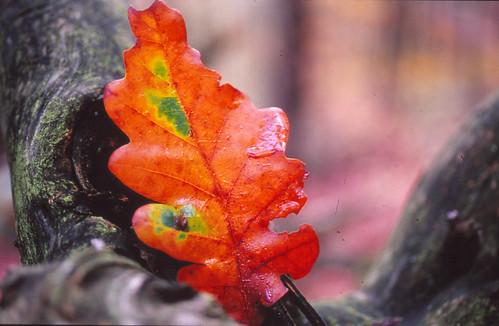 Herbstblatt by geissingerhermann
