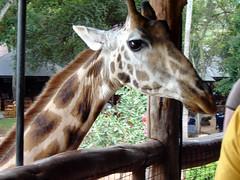 animal, zoo, giraffe, fauna, giraffidae,