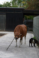 cow - playing with stick
