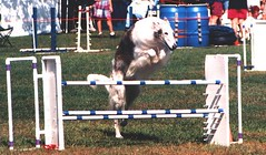 equestrianism(0.0), english riding(0.0), 110 metres hurdles(0.0), show jumping(0.0), jumping(0.0), physical exercise(0.0), dog sports(1.0), animal sports(1.0), sports(1.0), hurdle(1.0), dog agility(1.0), person(1.0),