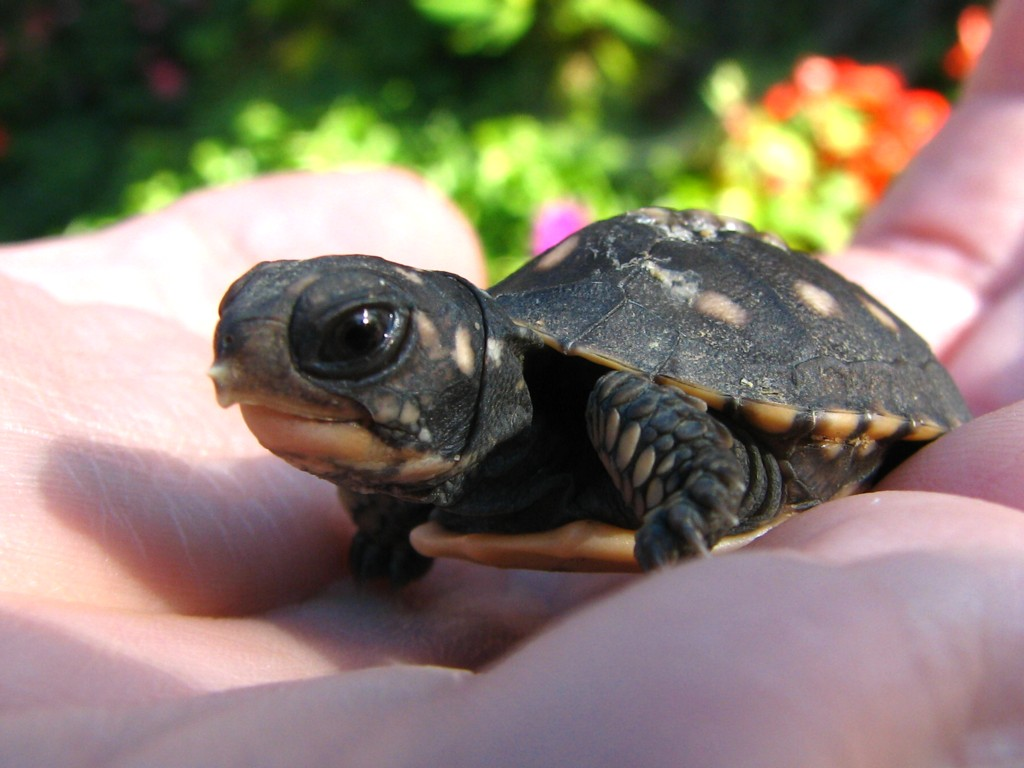 Baby Eastern Box Turtle Habitat Gallery for baby eastern box Eastern ...