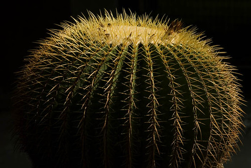 wild cactus india holiday plant nature cacti garden globe asia sharp ribs thorns spines horticulture spherical chandigarh goldenbarrelcactus thorny indiangardens goldenball echinocactusgrusonii picnicspot ornamentalplant thornytree barrelcacti motherinlawscushion captsureshsharma cactusphotography cactusgardenpanchkula drjssarkaria indiantouristdestination