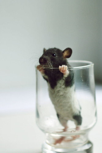 Baby Ratties