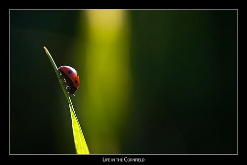 macro cornfield wheat ladybug flickrsbest badradkersburg superaplus aplusphoto