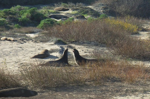 Elephant Seals at Ano Nuevo, California