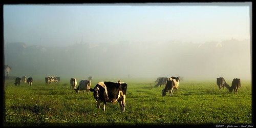 cow brume vache myst gruyère broc aplusphoto