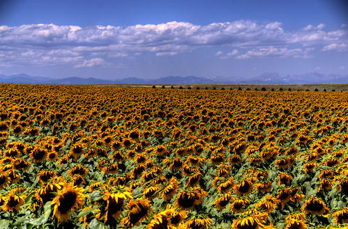 flowers blue sky foothills mountains green yellow clouds landscape colorado sunflower rockymountains 200708