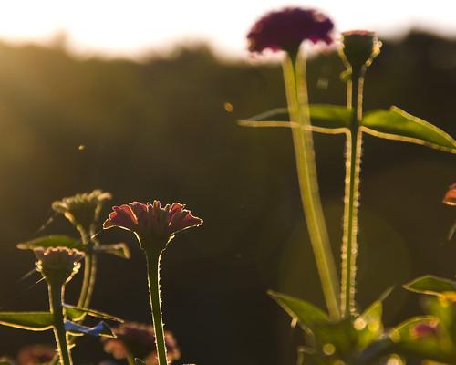 flowers usa sunrise md photographic backlit rockport workshops ledgesmaine