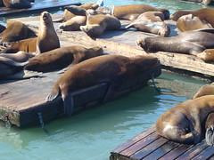 walrus(0.0), animal(1.0), seals(1.0), sea lion(1.0), marine mammal(1.0), zoo(1.0), fauna(1.0),