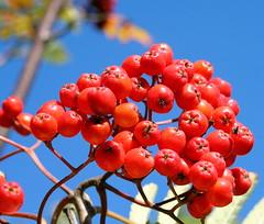 shrub(0.0), flower(0.0), rose hip(0.0), cloudberry(0.0), berry(1.0), branch(1.0), red(1.0), macro photography(1.0), flora(1.0), produce(1.0), fruit(1.0), food(1.0), rowan(1.0),