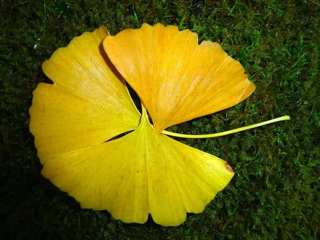 ginkgo biloba das symbol f r einen weltenbaum das symbol f r st rke und hoffnung flickr. Black Bedroom Furniture Sets. Home Design Ideas