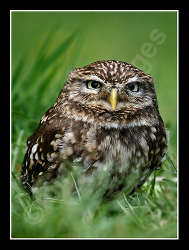 A Little Owl