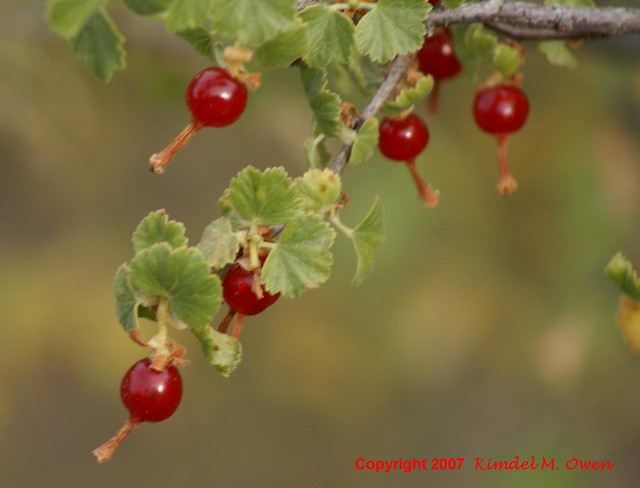 WILD CURRANT BERRIES   Flickr - Photo Sharing!